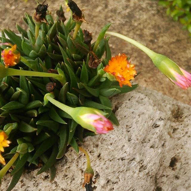 気になっちゃうから、言うね?!三時に咲くから三時草