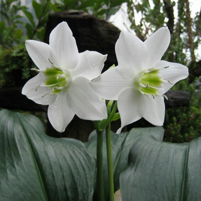 花ずきんはアマゾンリリーを年中扱う苗屋さんです。