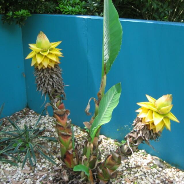 地植えもオススメ!地湧金蓮が咲きました