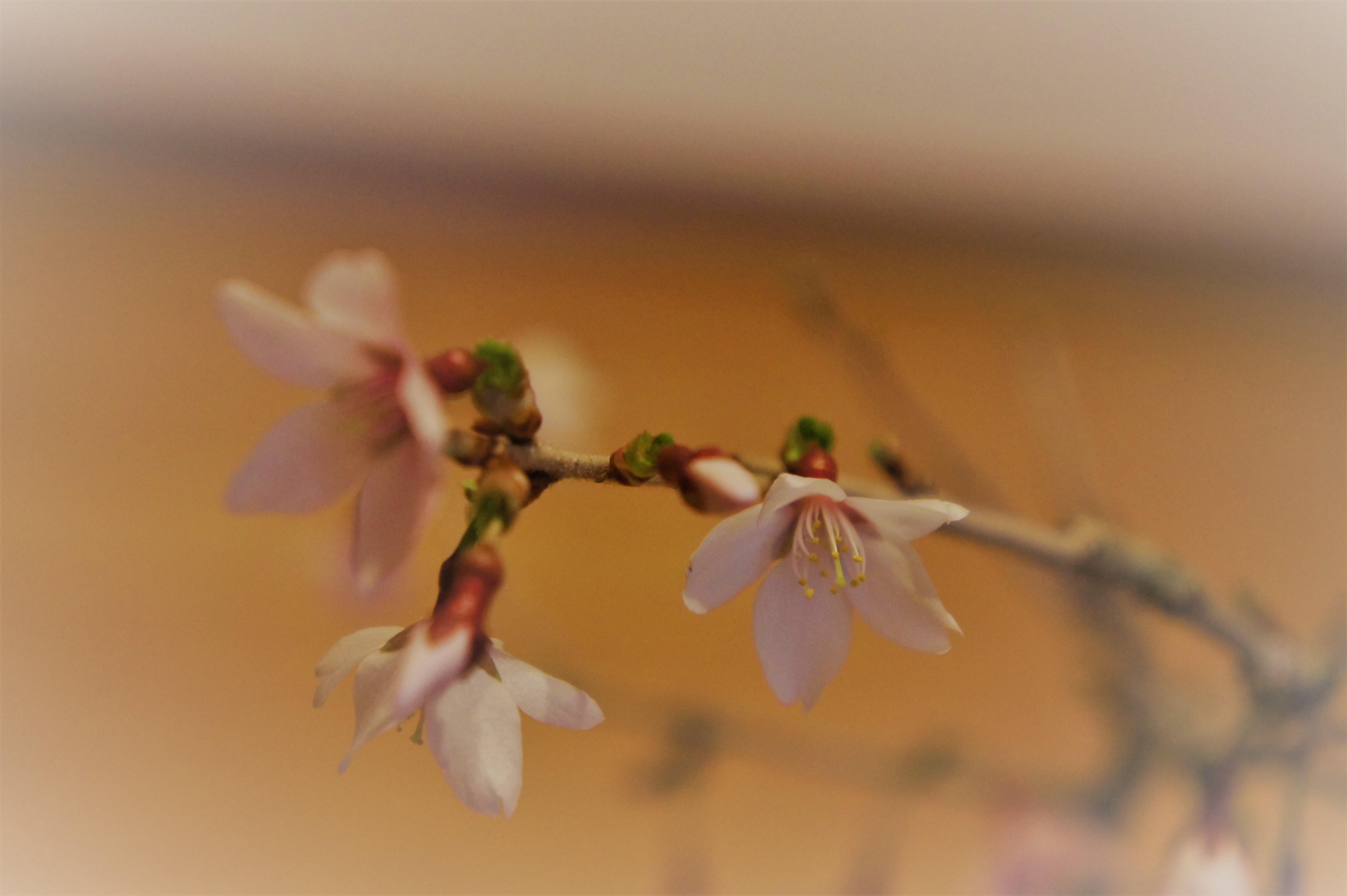 もうすぐ春ですね!おうちでお花見!桜盆栽