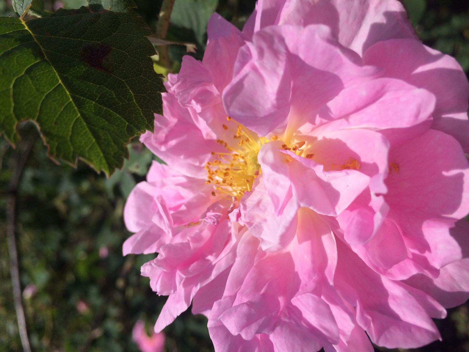 バラの花でつくるファンデーション
