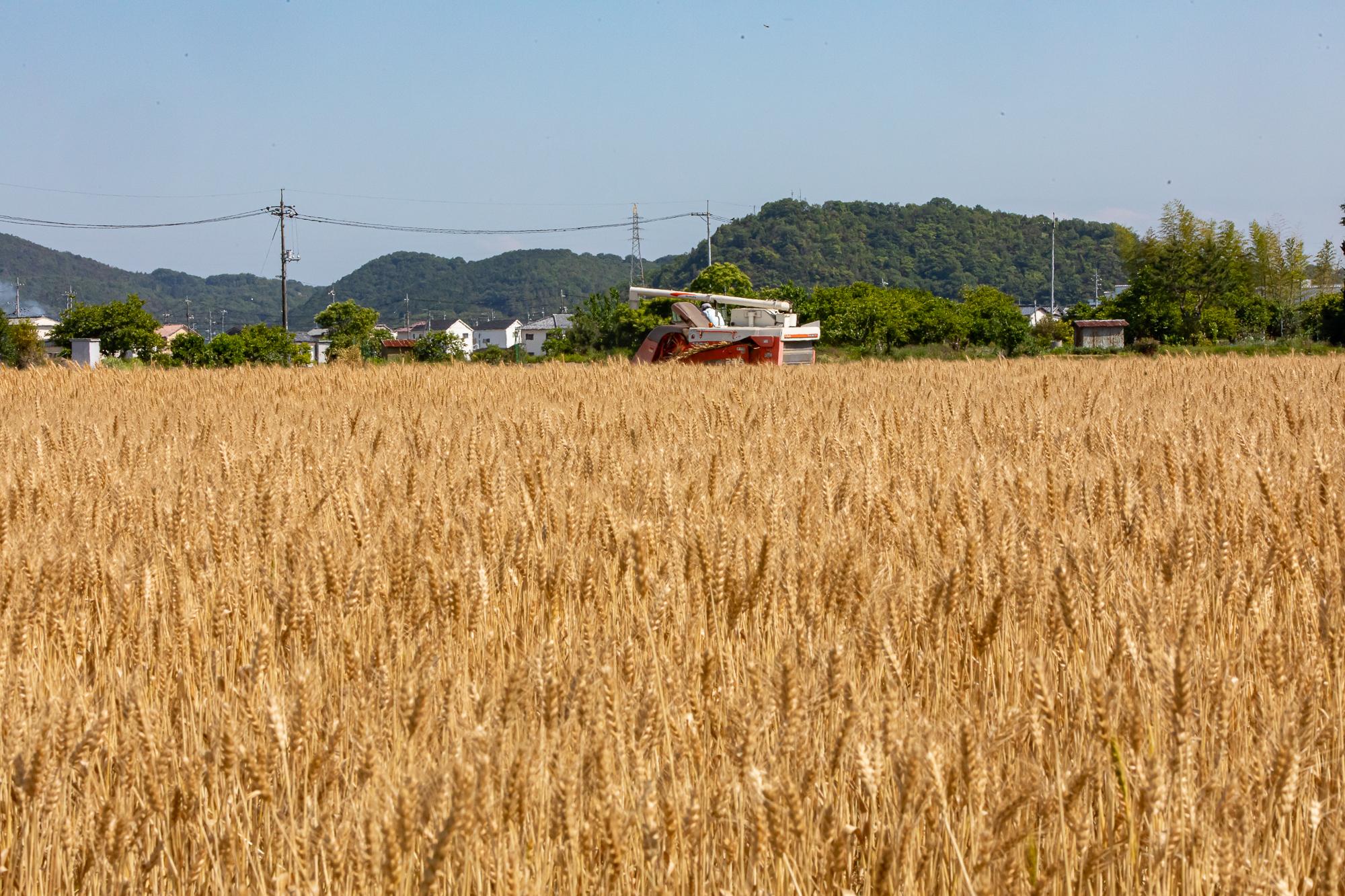 20年産ふくほのか小麦の収穫が始まりました。