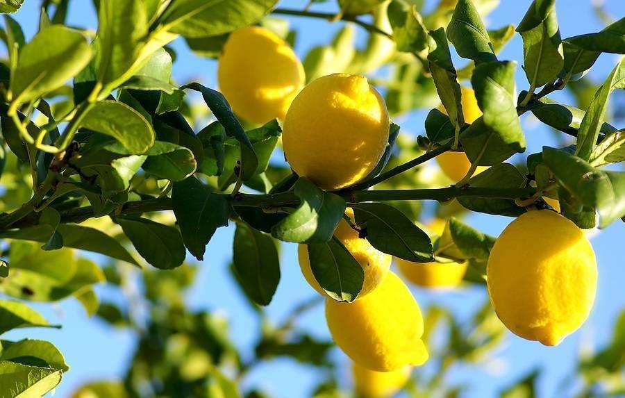 おすすめのオリーブオイル 良いレモンのオイルの見分け方
