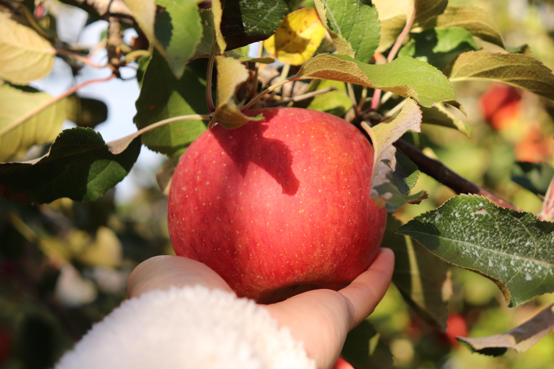 砂糖不使用!グミのような食感のりんごのドライフルーツ