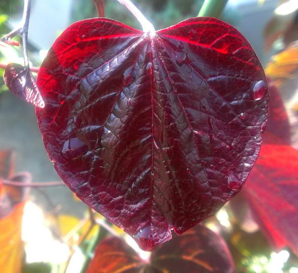 """アメリカハナズオウ """"フォレストパンシー"""":紫色のハート形の葉と赤紫色の花が人気のカラーリーフ"""