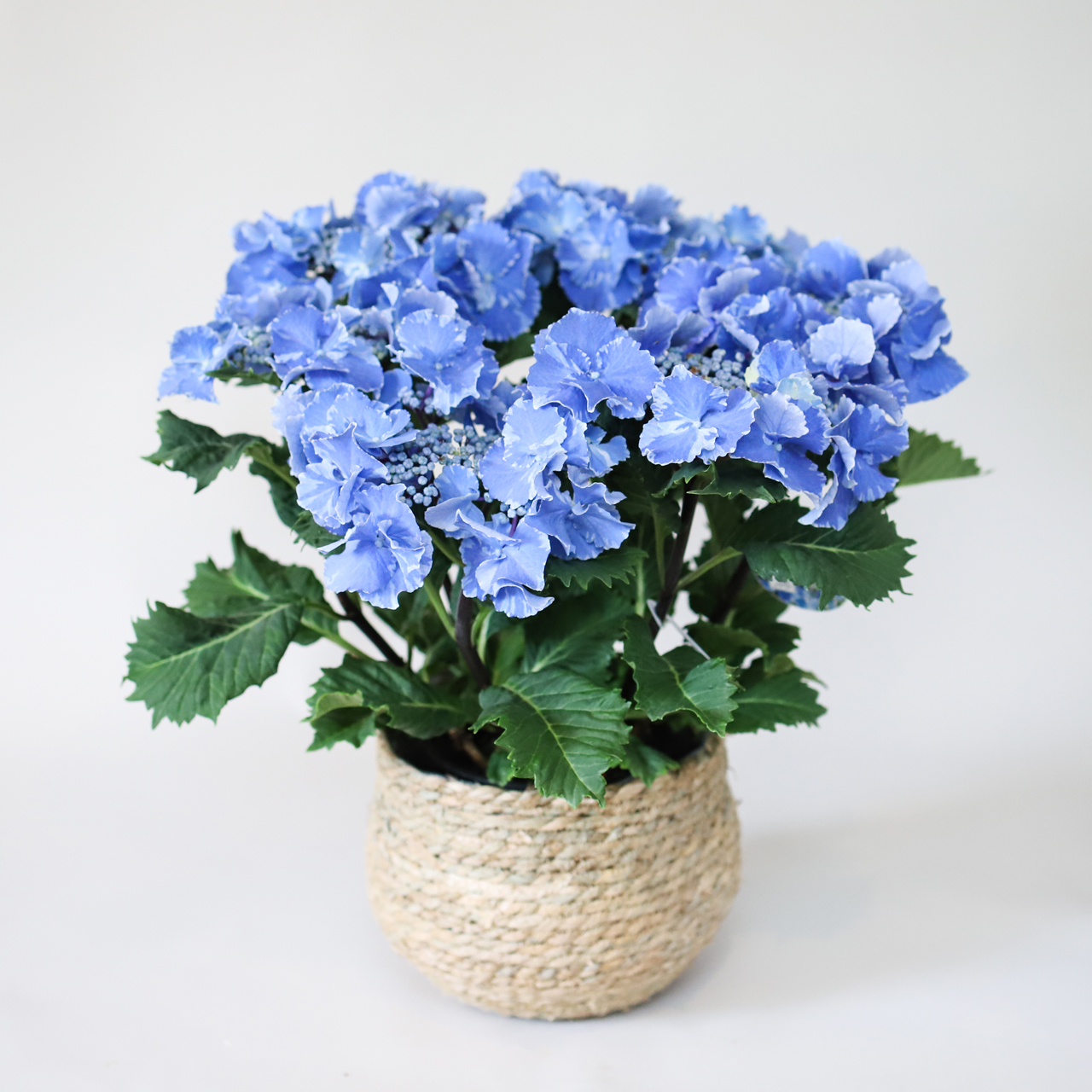 おひとつ限り。爽やかブルーのアジサイ