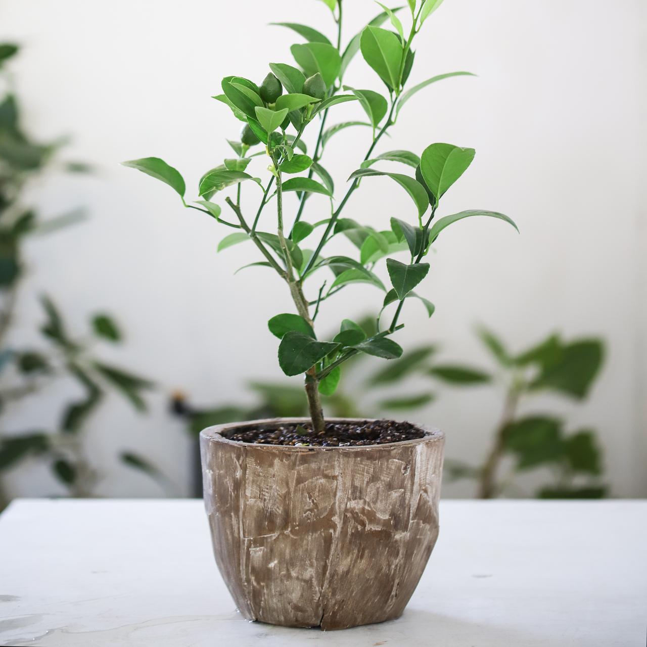 【父の日におすすめ】レモンの木栽培キット