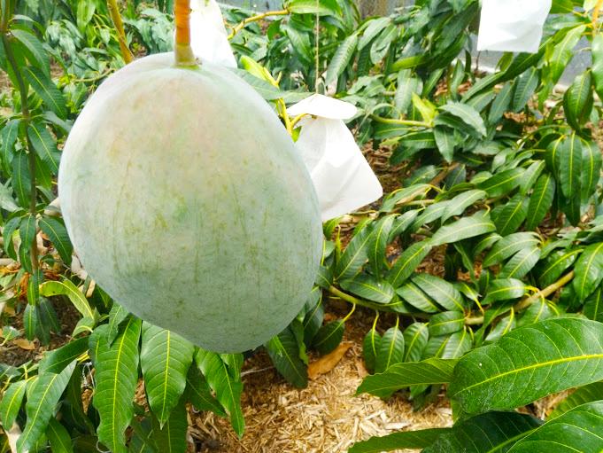 【沖縄県産】濃厚な甘さ!幻のマンゴー「キーツマンゴー」