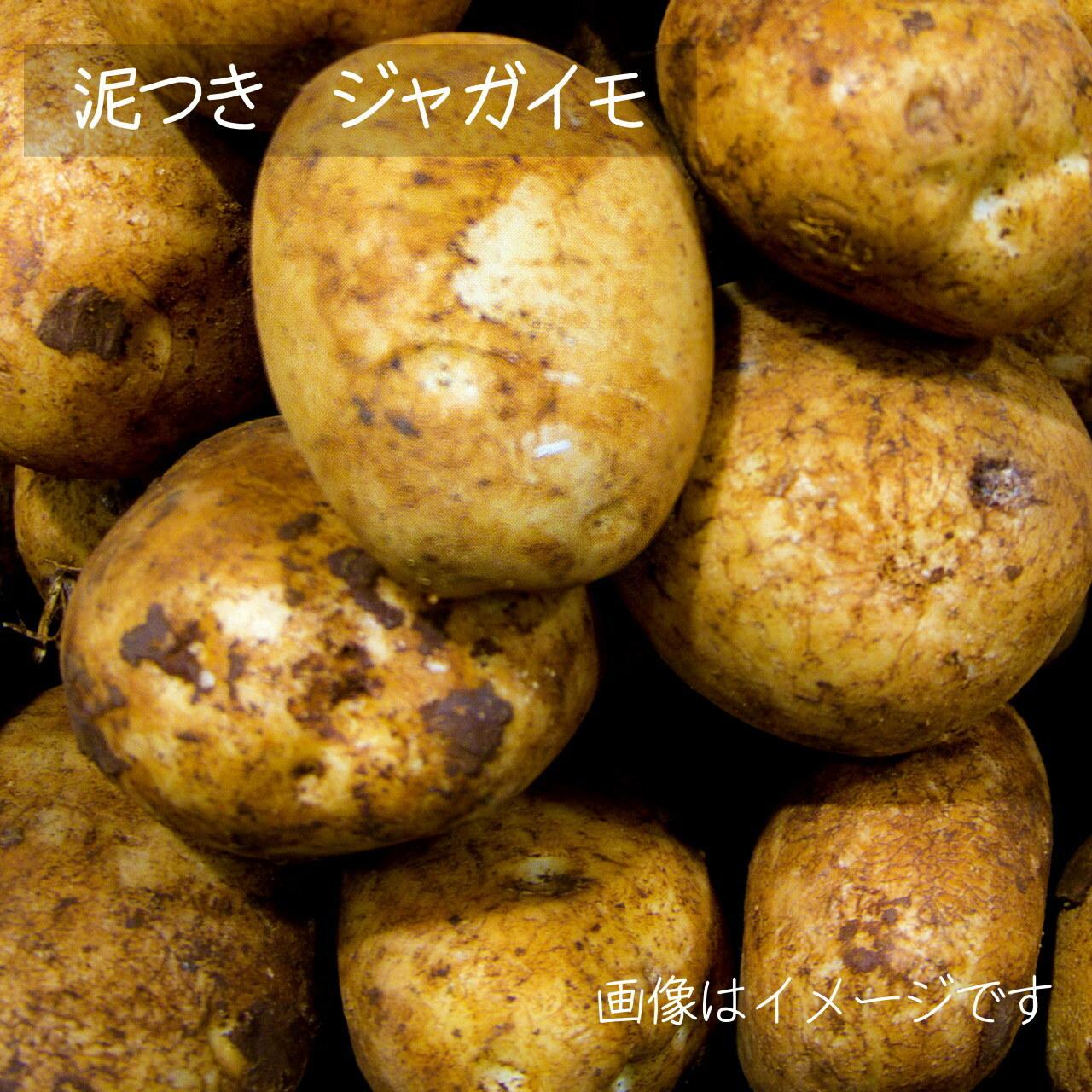 新鮮な秋野菜 : ジャガイモ 約600g 9月の朝採り直売野菜 9月12日発送予定