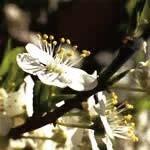 チェリープラム[Cherry Plum]#6