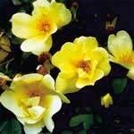 スプリングゴールド[Spring Gold]#3
