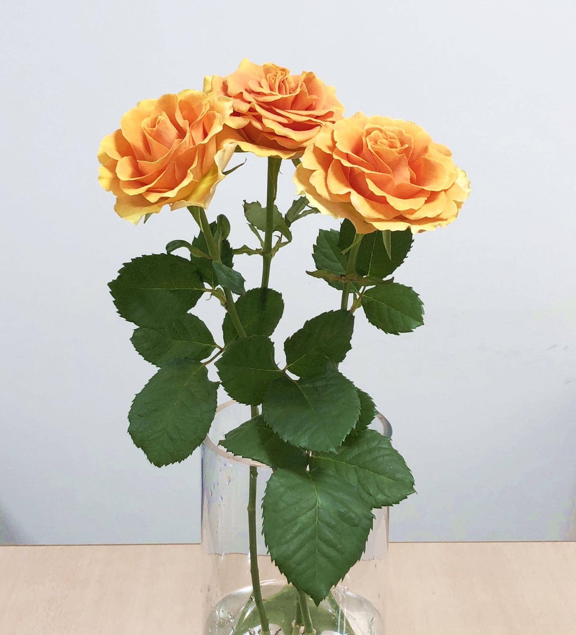 ※市場直送便!京果園 10本 ★バラ品種名: スフィンクスプレゴ