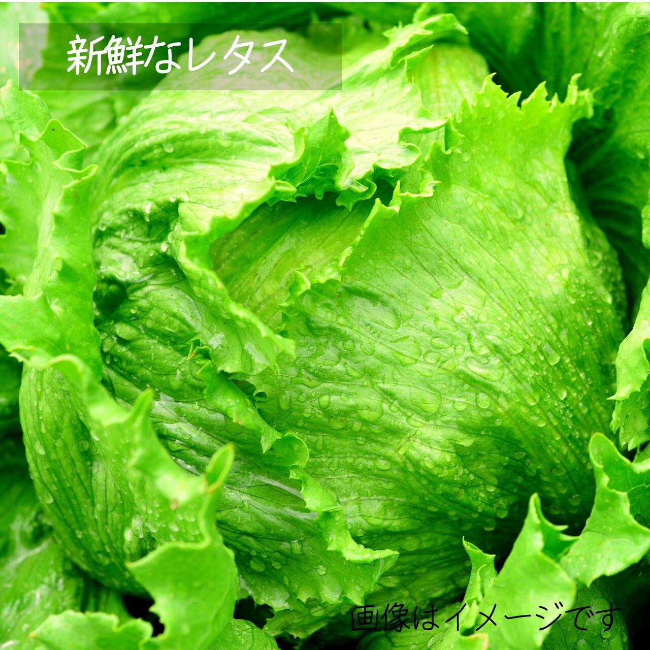 7月の新鮮野菜 :レタス 1個 : 朝採り直売野菜 7月4日発送予定