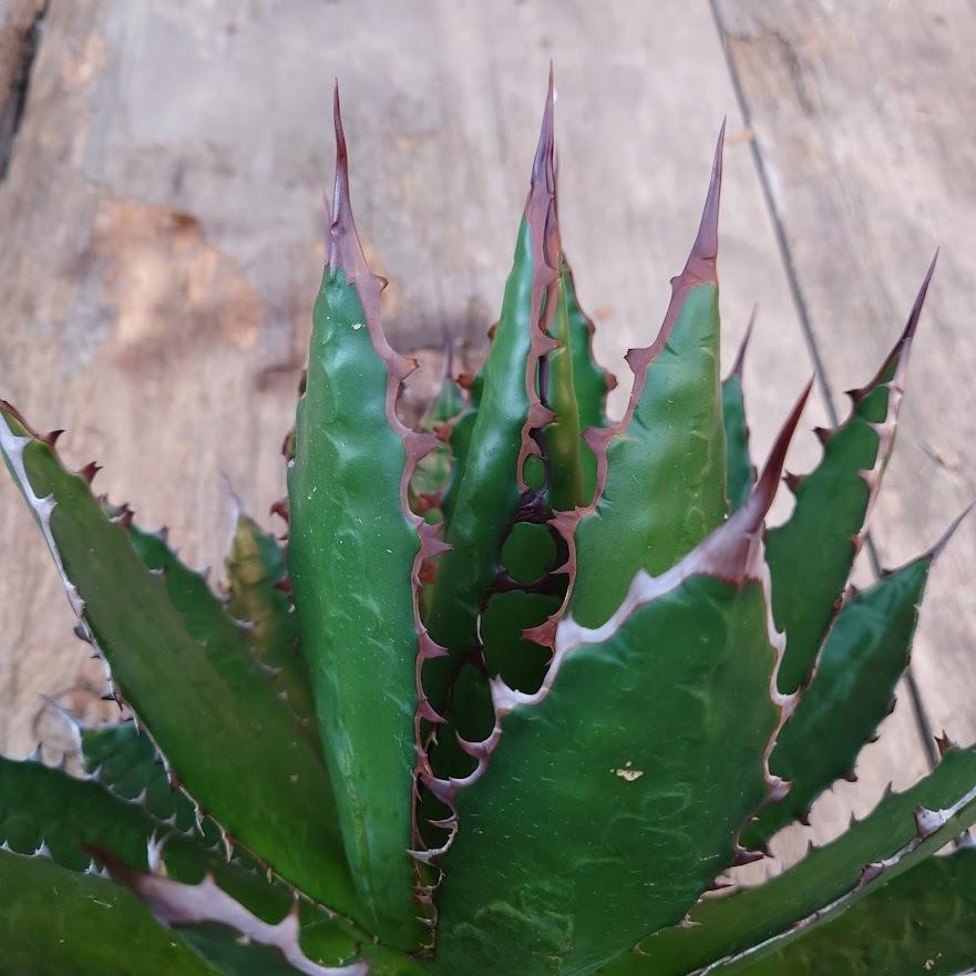 アガベ ホリダ agave horrida 3 【大株・美株】