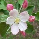 アップルブロッサム[Apple Blossom]