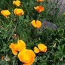 カリフォルニアポピー[California Poppy]