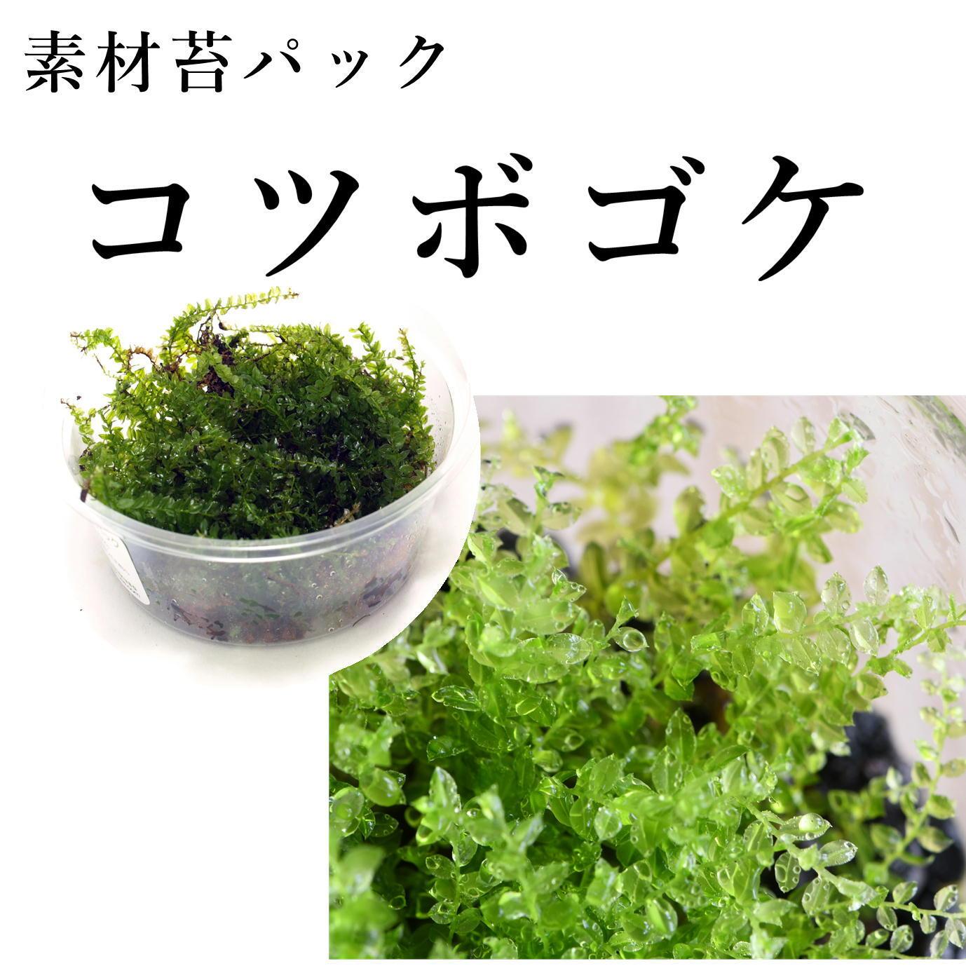 コツボゴケ 苔テラリウム作製用素材苔
