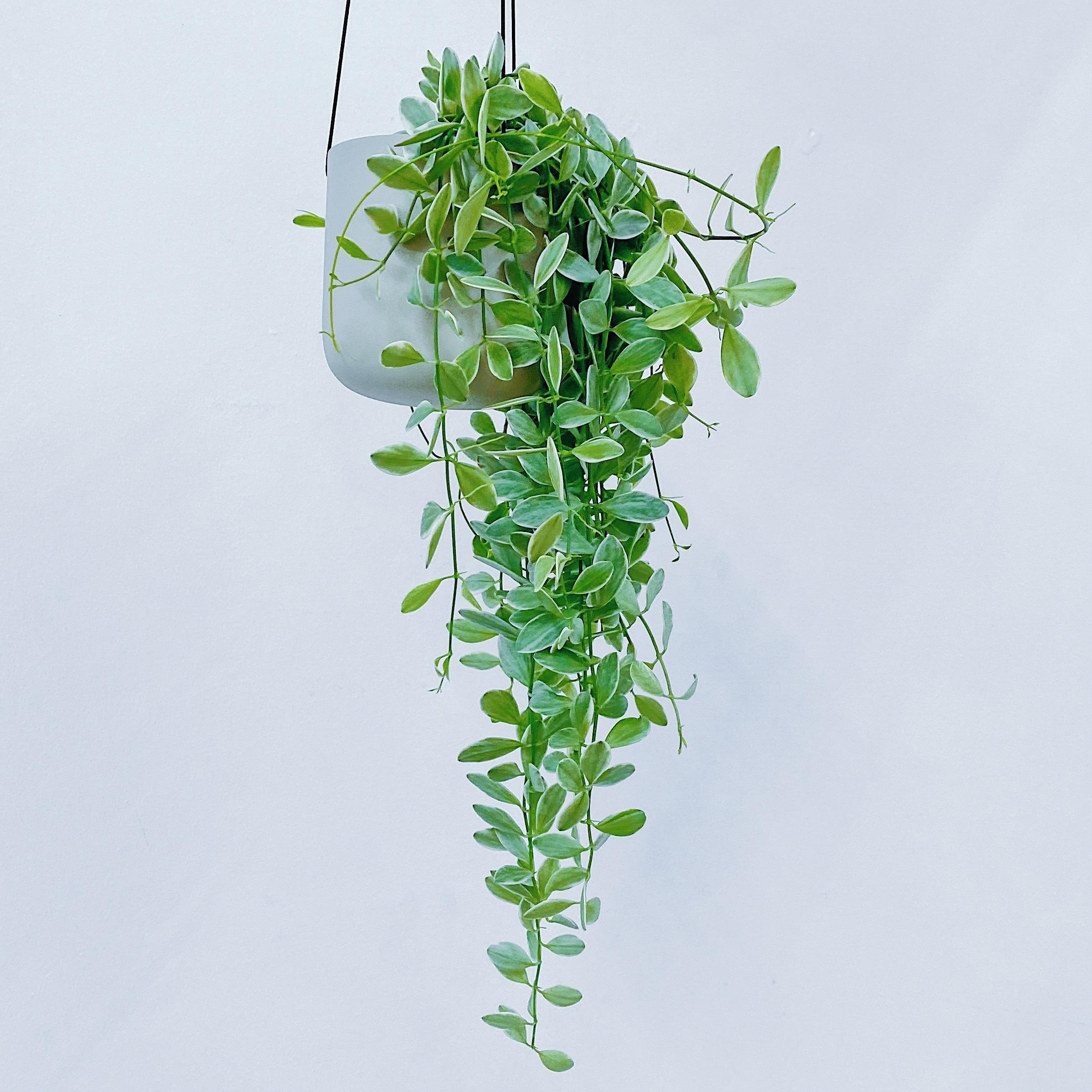 宝石色の葉を楽しむ / ディスキディア・エメラルド