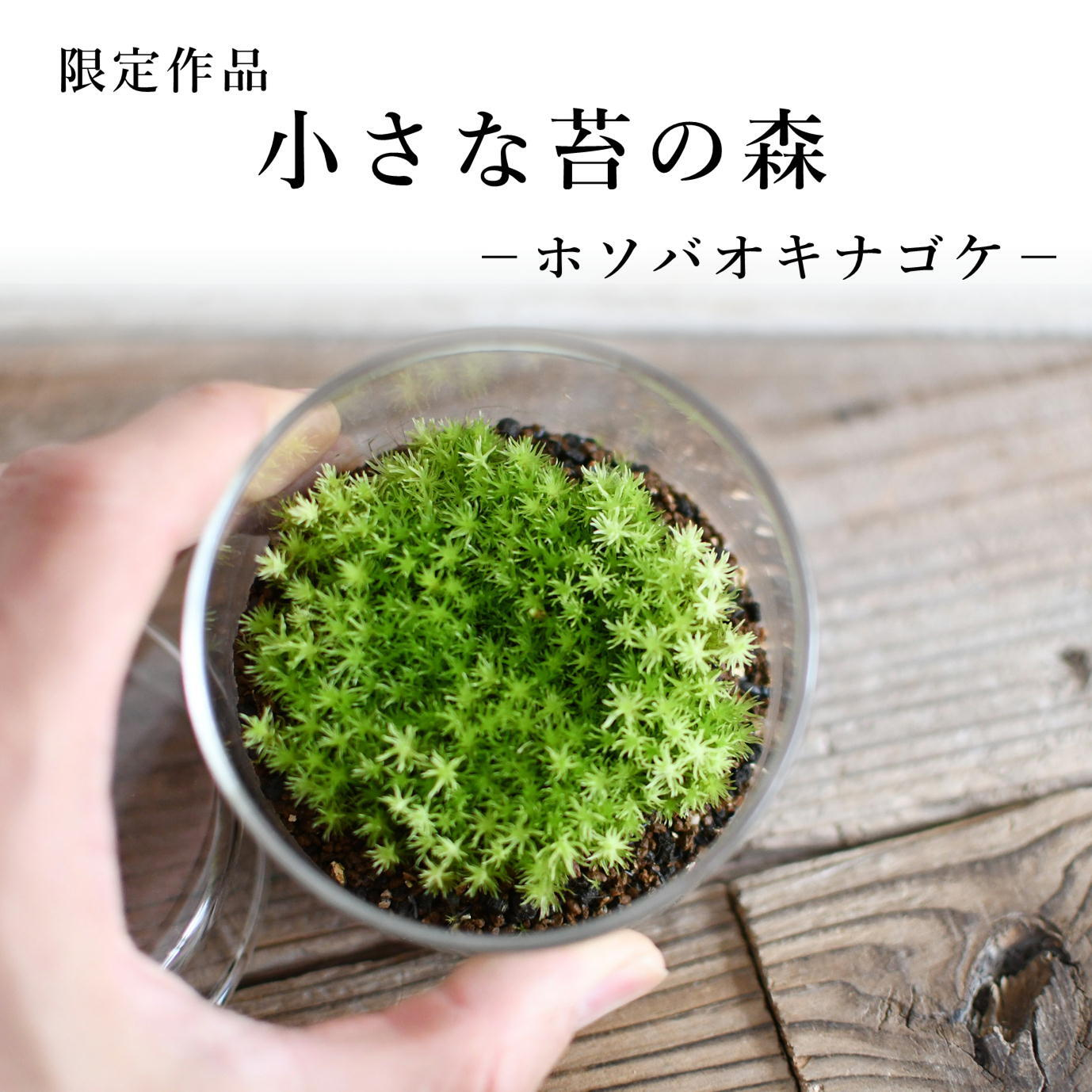 小さな苔の森−ホソバオキナゴケ− 2021.6.27#6【苔テラリウム・現物限定販売】
