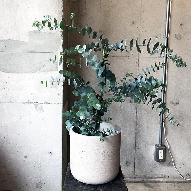 【庭木】銀丸葉ユーカリ(オーストラリア原産)