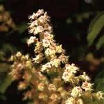 ホワイトチェスナット[White Chestnut]#35