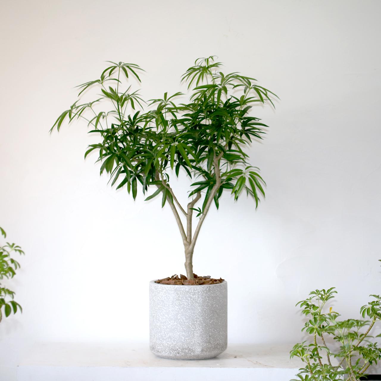 シンボルツリーにおすすめシェフレラ