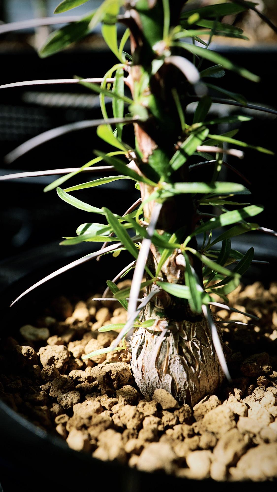 フォークイエリア・プルプシー   Fouquieria purpusii _002