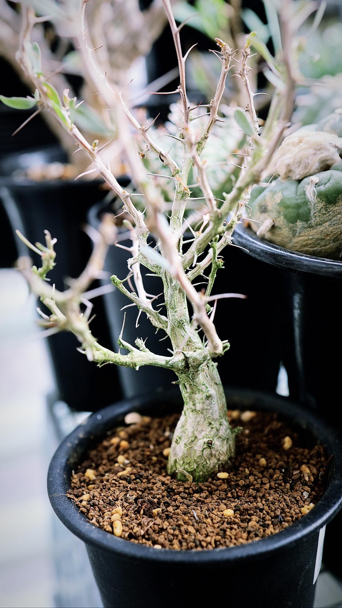 フォークイエリア・コルムナリス | Fouquieria columnaris
