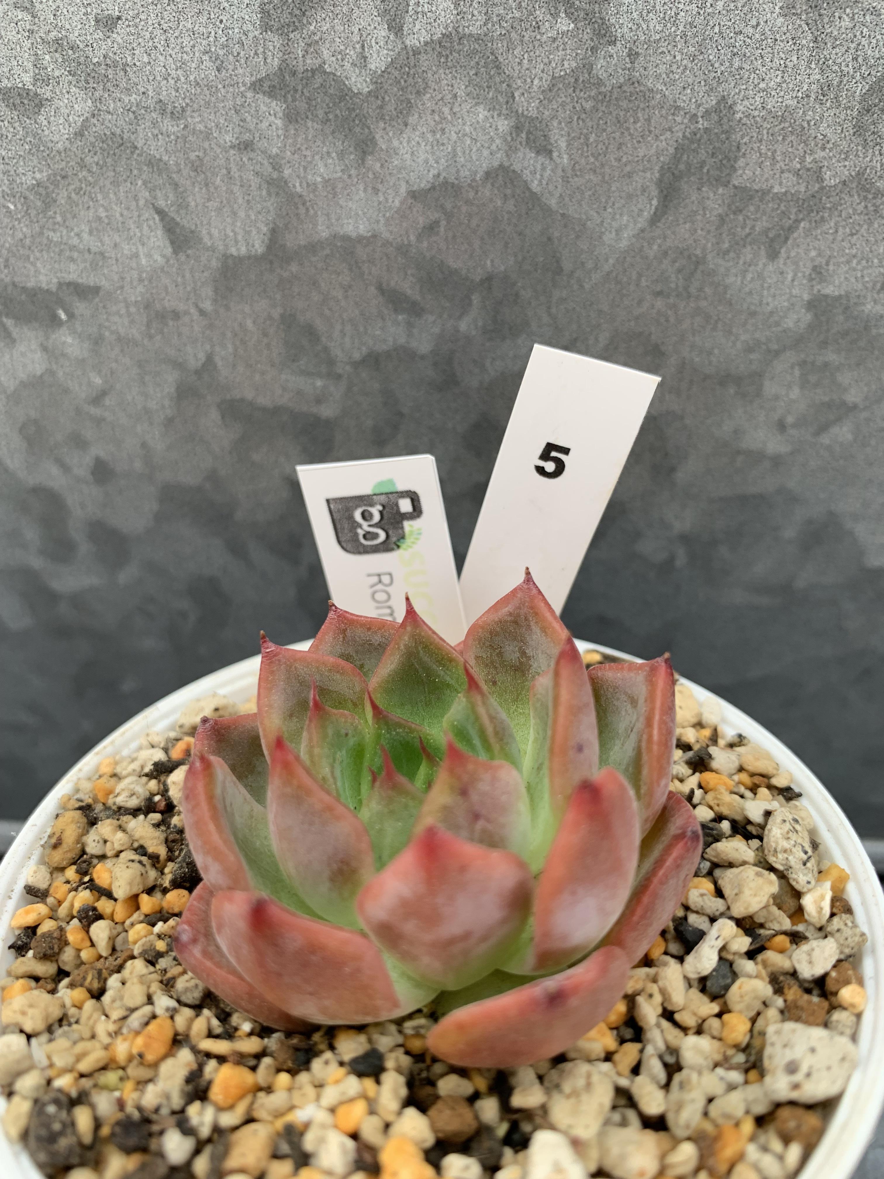 多肉植物 韓国苗 Roma☆No.5