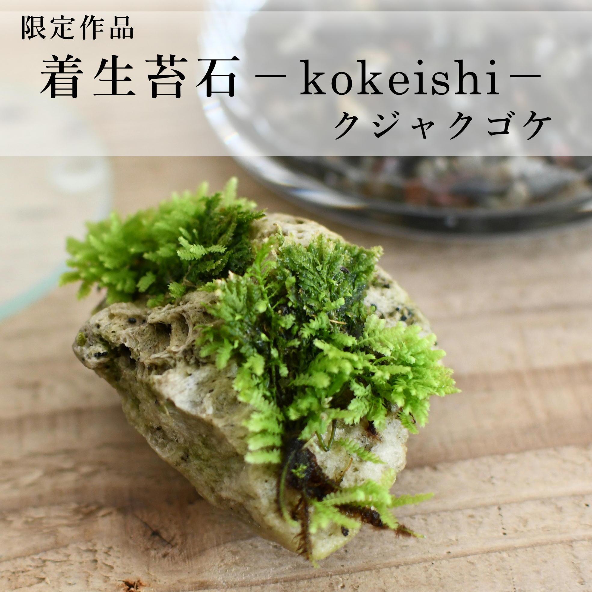 【現物販売】着生苔石クジャクゴケ 2021.8.20#3◆栽培容器付