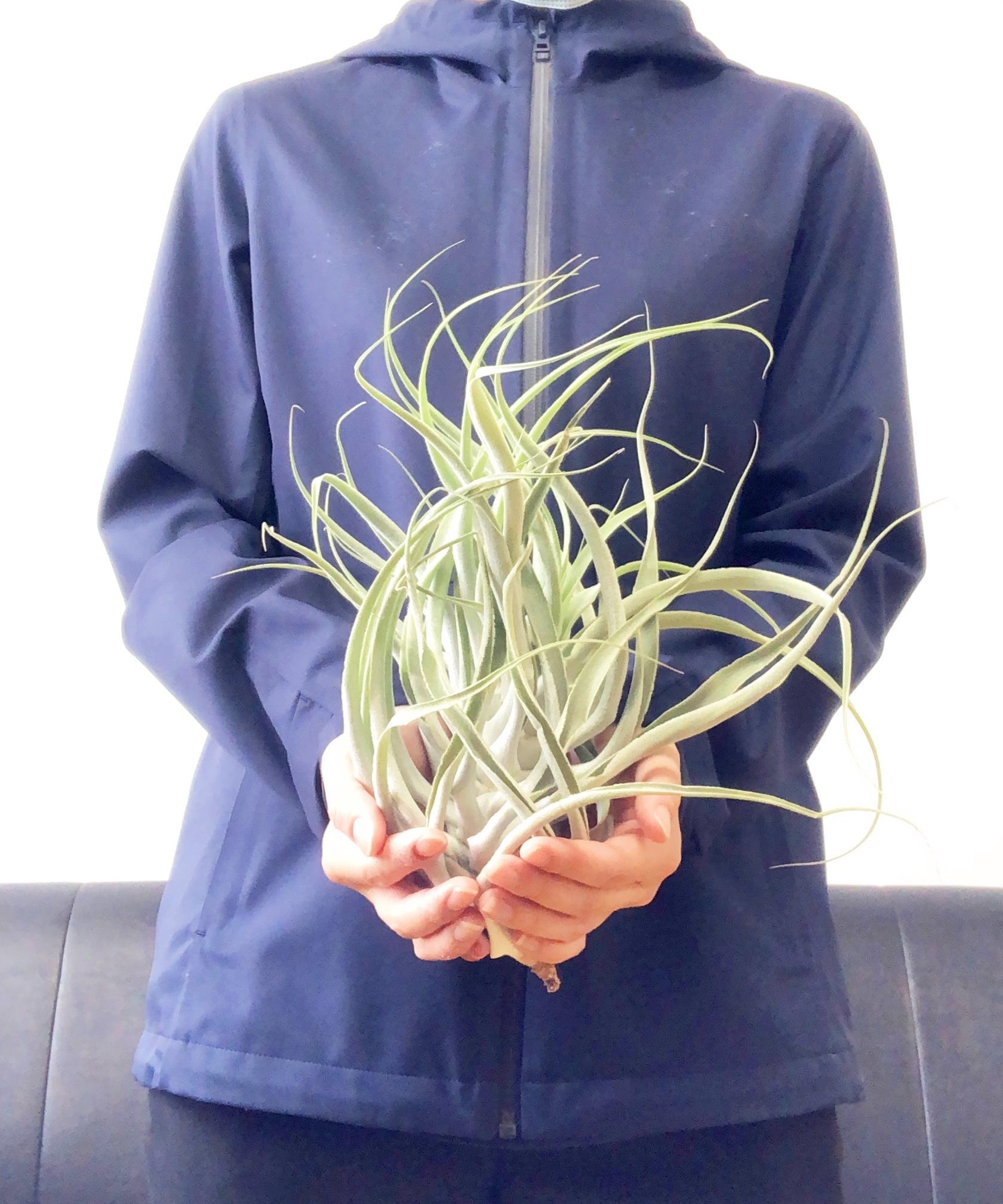 チランジア(エアプランツ)カクティコラ Tillandsia cacticola