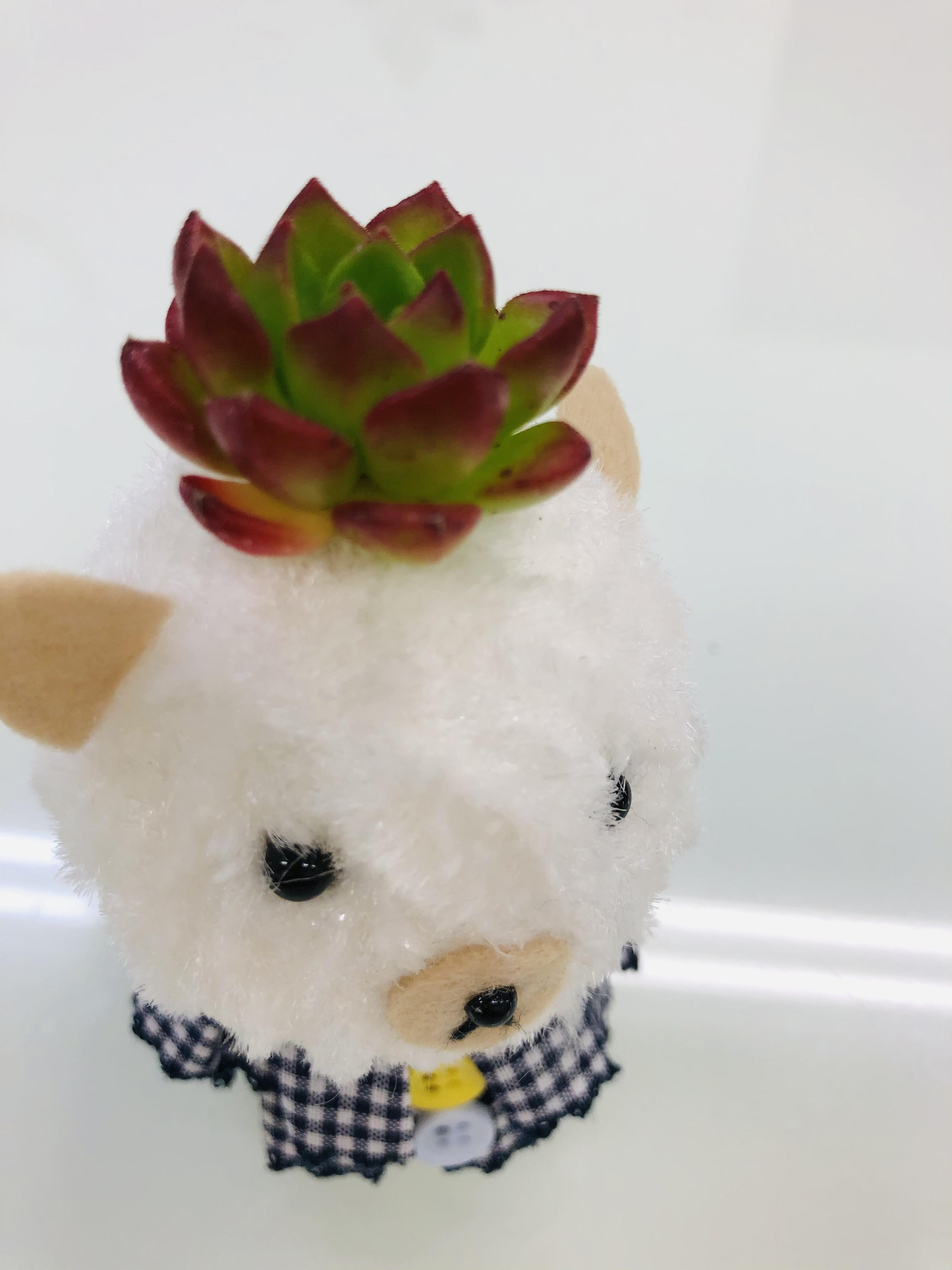 【多肉植物】KINOKOボーイ2個セット