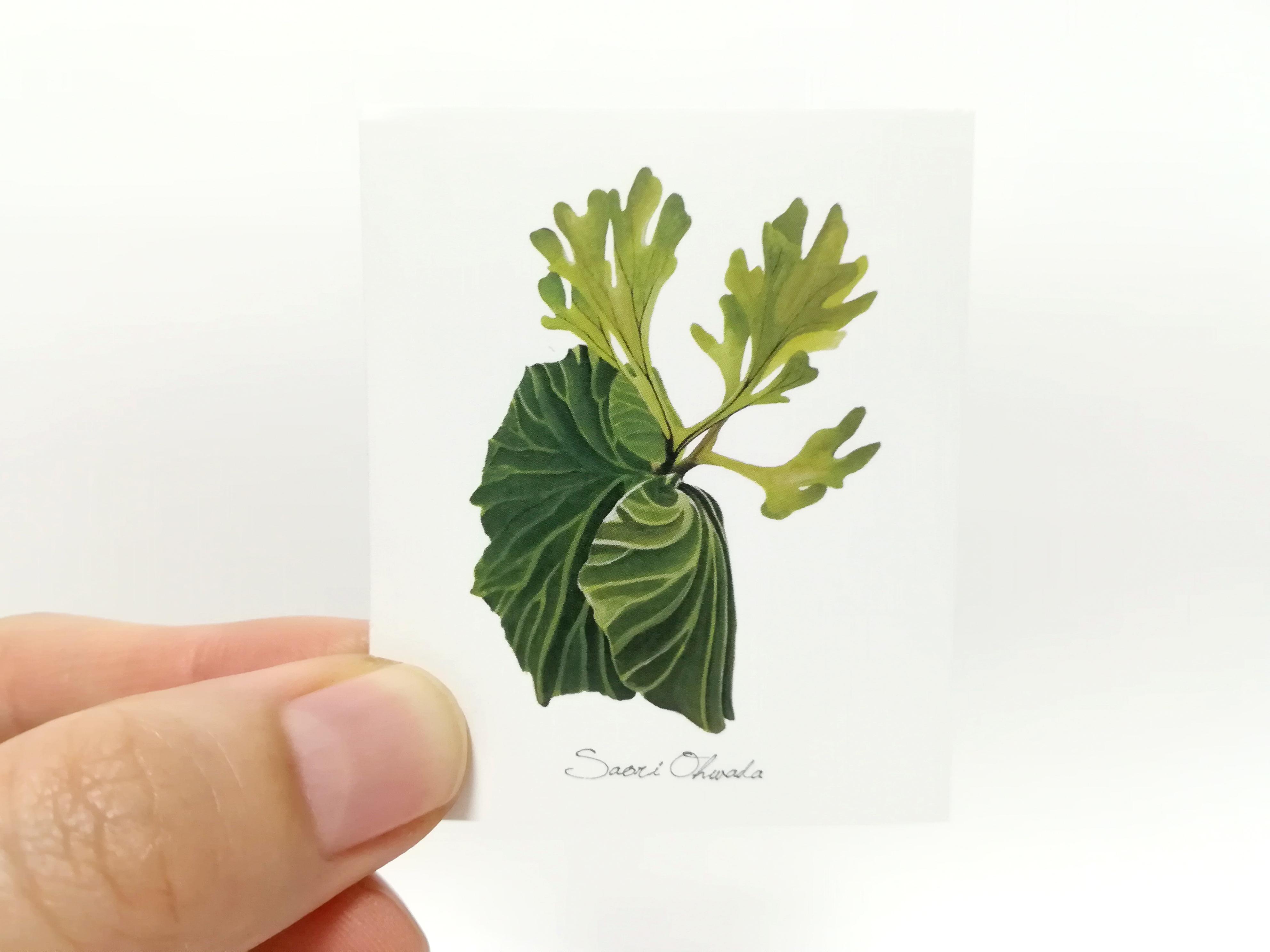 Platycerium ridleyi ステッカー