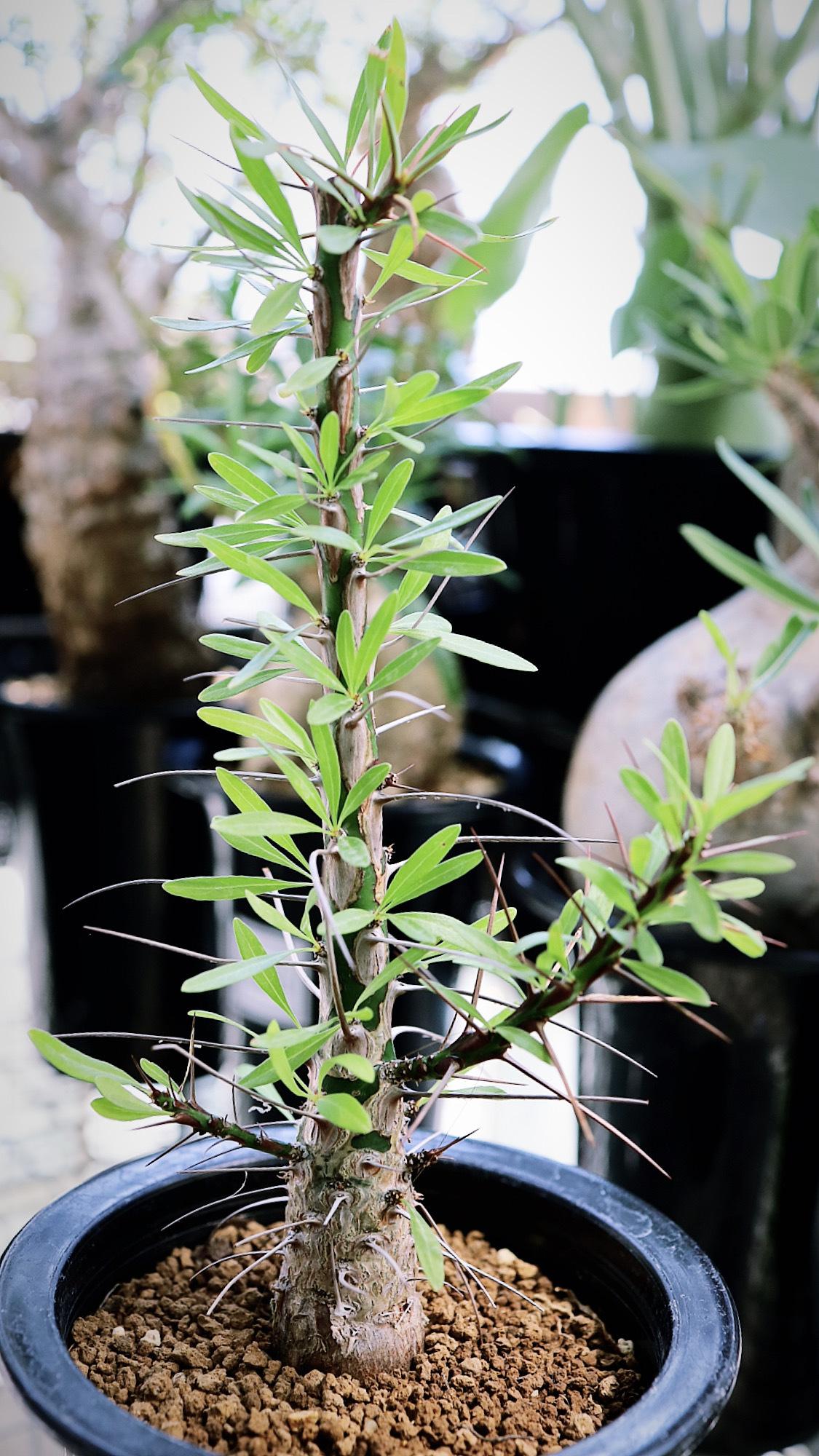 フォークイエリア・プルプシー   Fouquieria purpusii _004