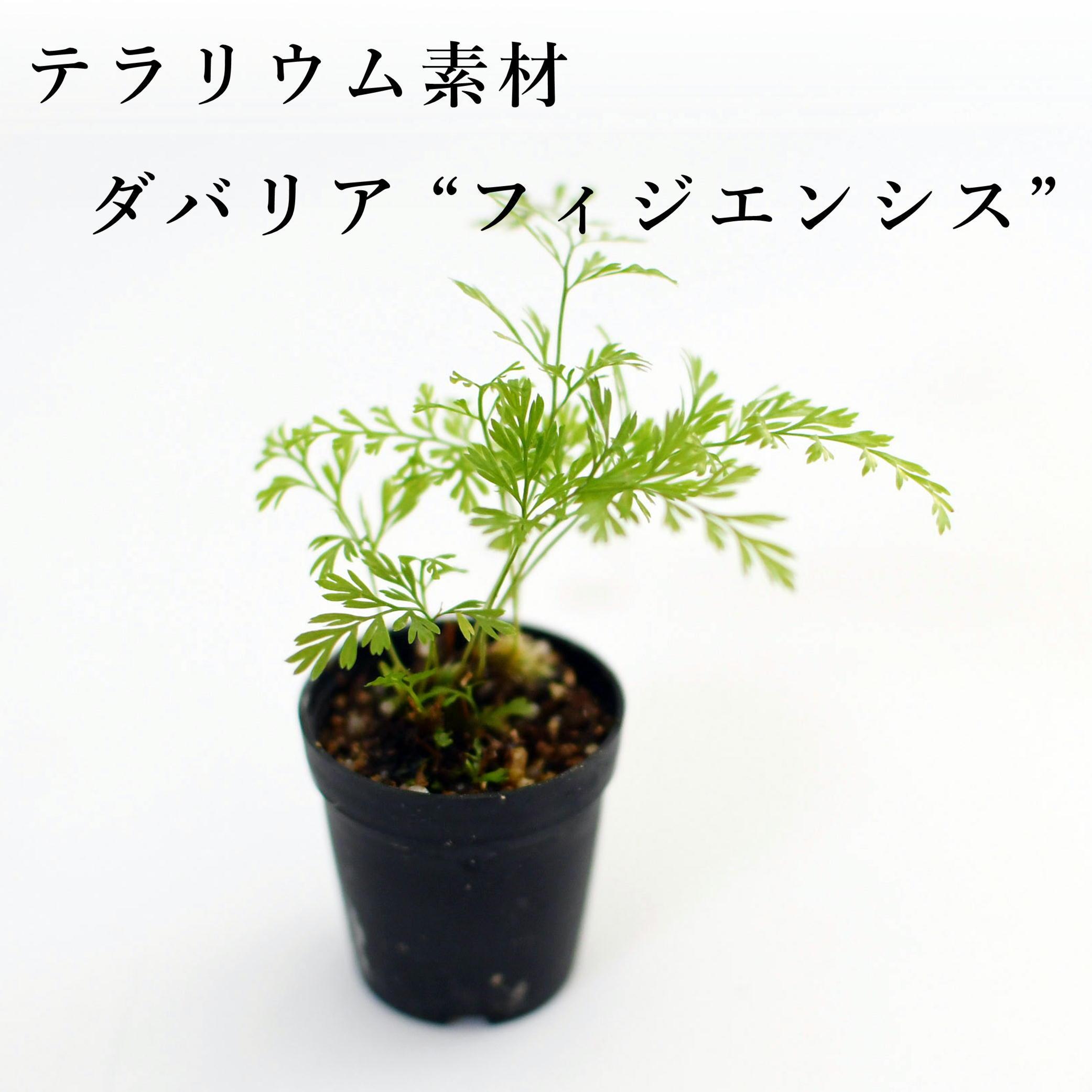 """ダバリア """"フィジエンシス""""(シダ植物) 苔テラリウム作製用素材"""