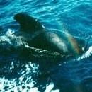 パイロットホエール(ゴンドウクジラ)[Pilot Whale]
