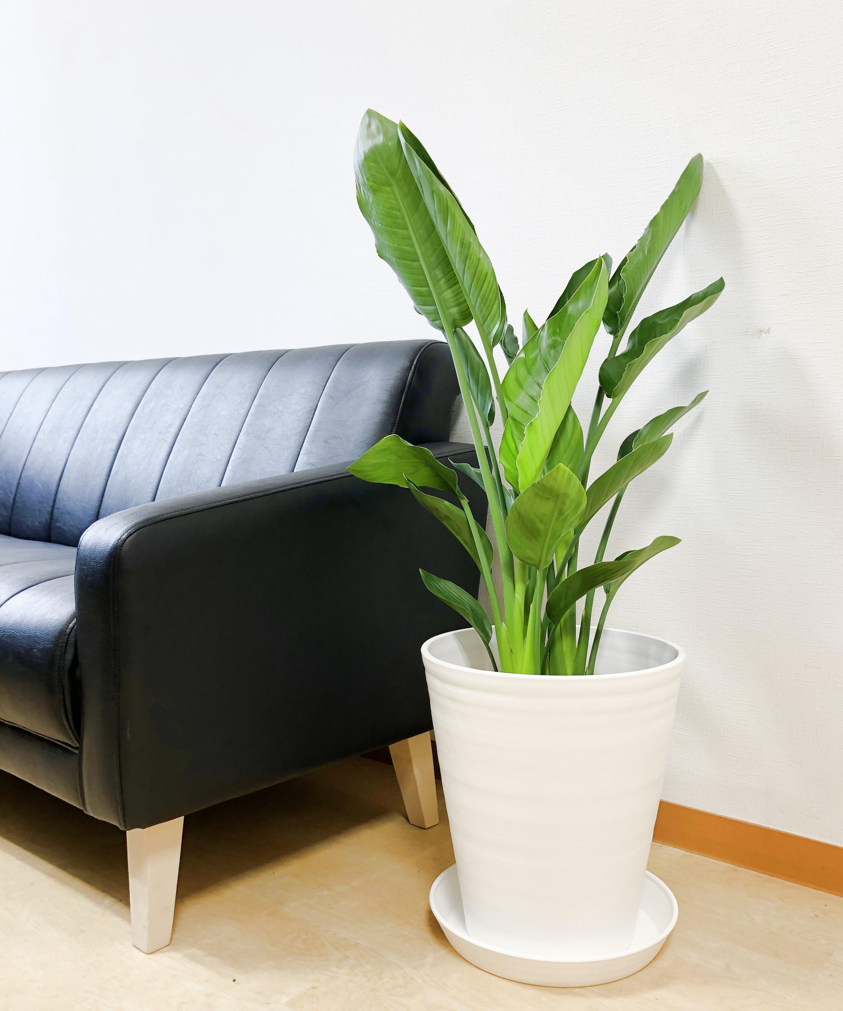 ★送料無料!スタイリッシュな観葉植物 ストレチア・レギネ 8号 2色選べる鉢カバー付き