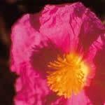 サンローズ[Sun Rose]#20