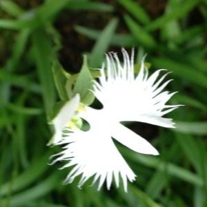 鷺草(さぎそう)『霊性を高める』| 和樂フラワーエッセンス