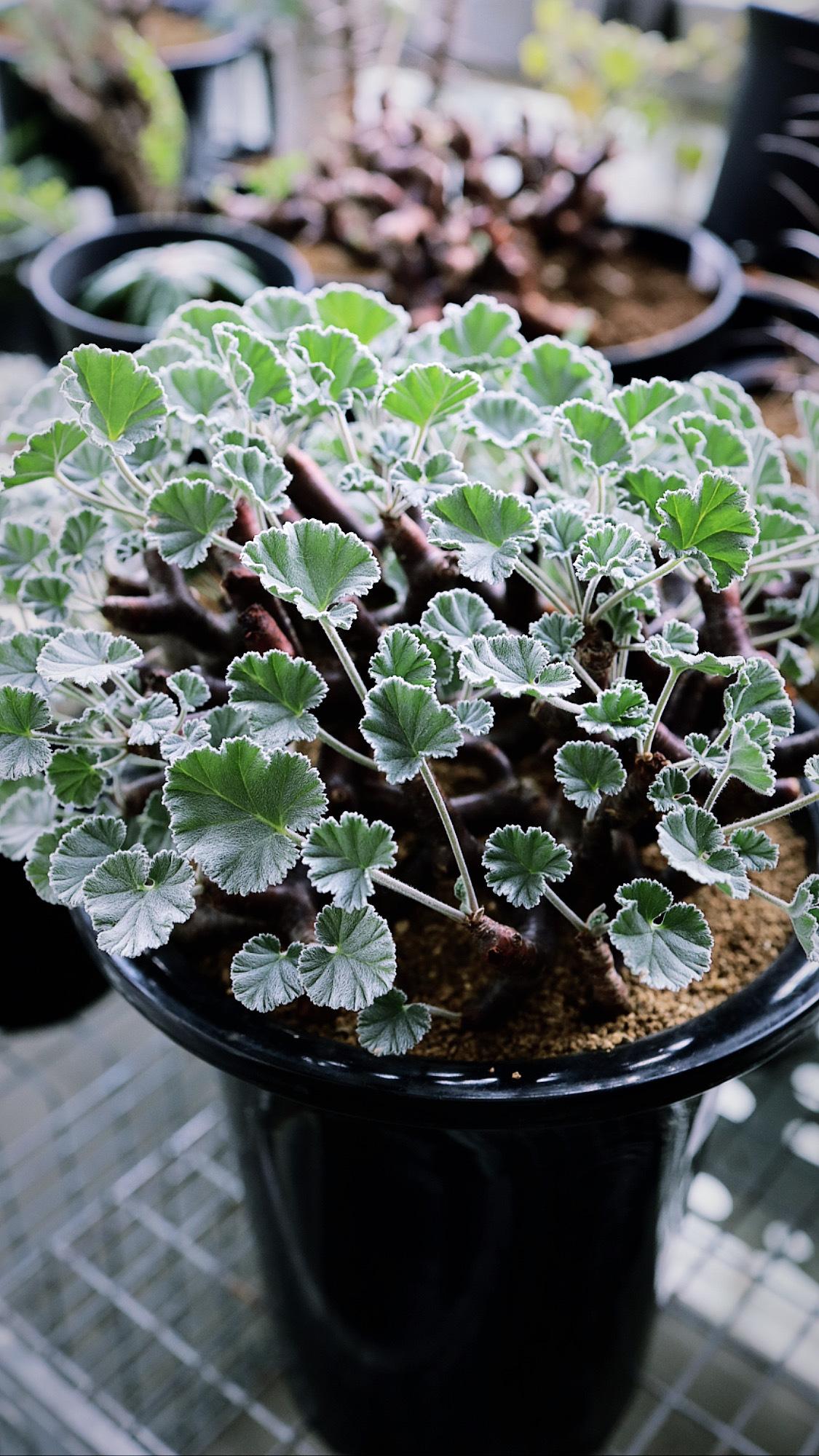 ペラルゴニウム・ミラビレ | Pelargonium mirabile