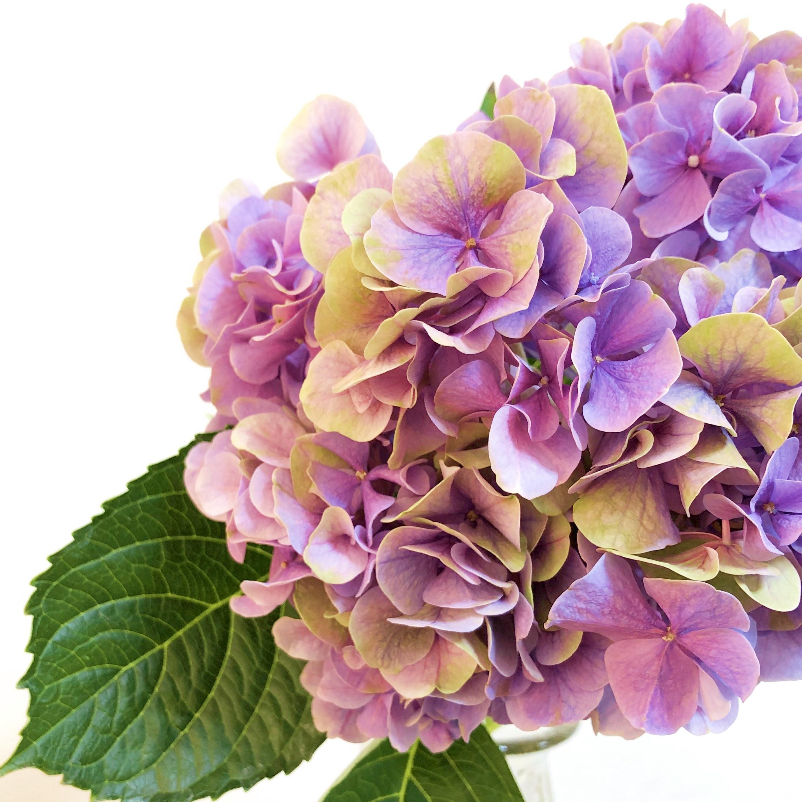 ブライダル応援!! 千葉県 青木園芸 ハイドランジア(アジサイ)アルプスアンティークのご提案