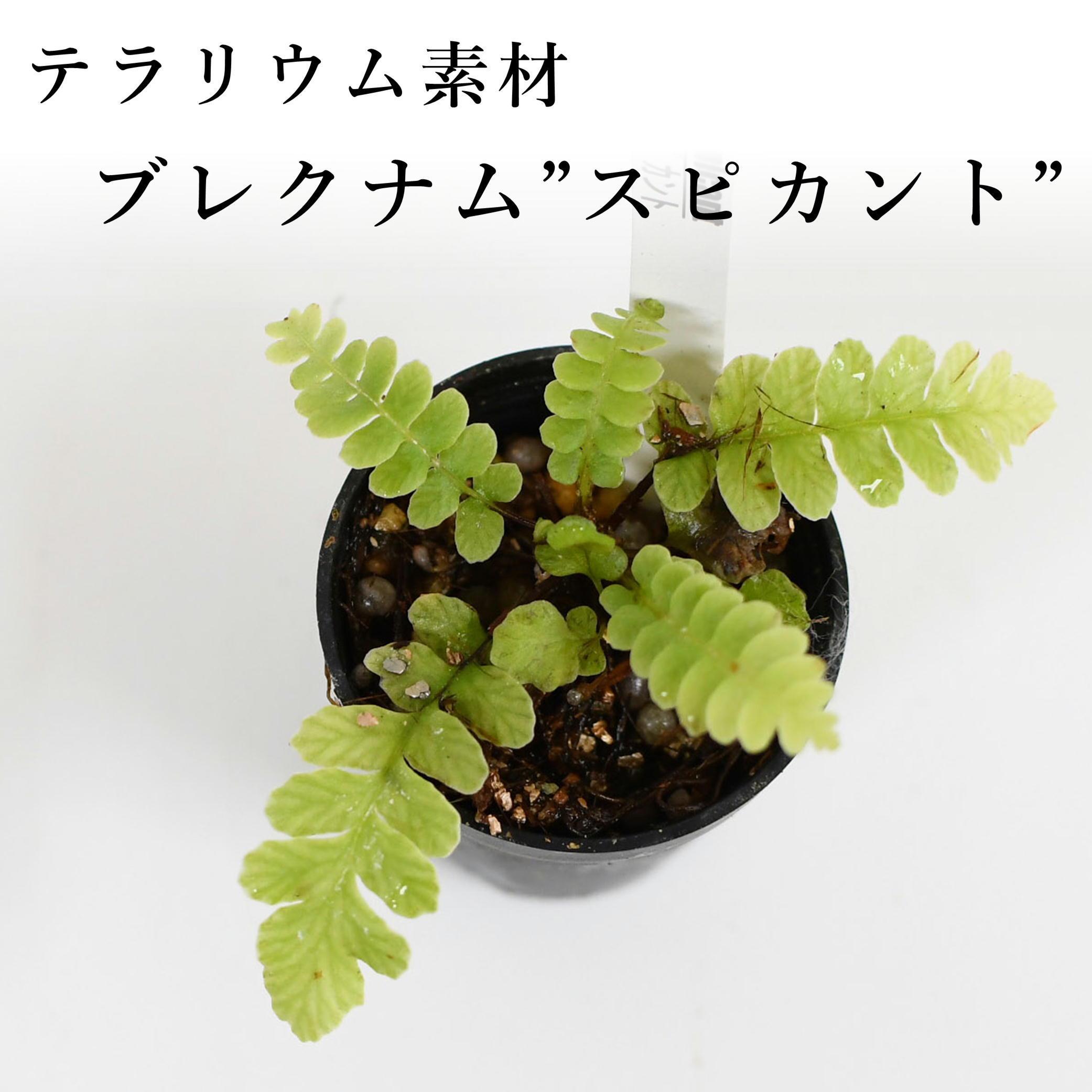"""ブレクナム""""スピカント""""(シダ植物) 苔テラリウム作製用素材"""