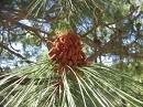 カナリーアイランドパイン[Canary Island Pine]#48