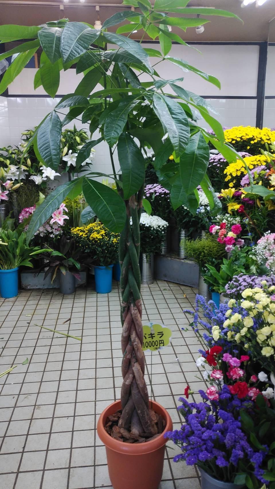 10000円の観葉植物