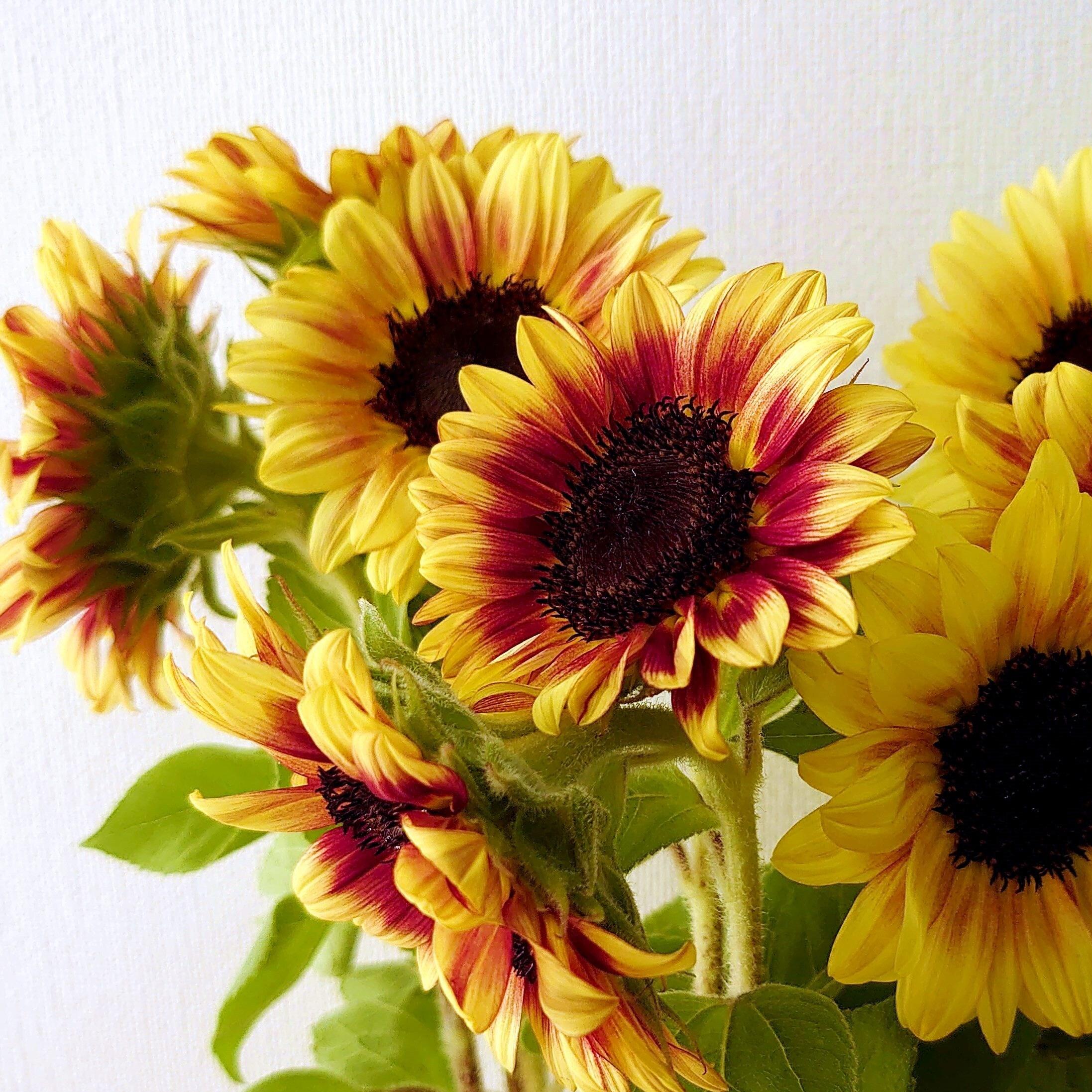 絵画の様な秋色のひまわりで元気をチャージしよう!! 北海道産サンリッチ ライチ 20本