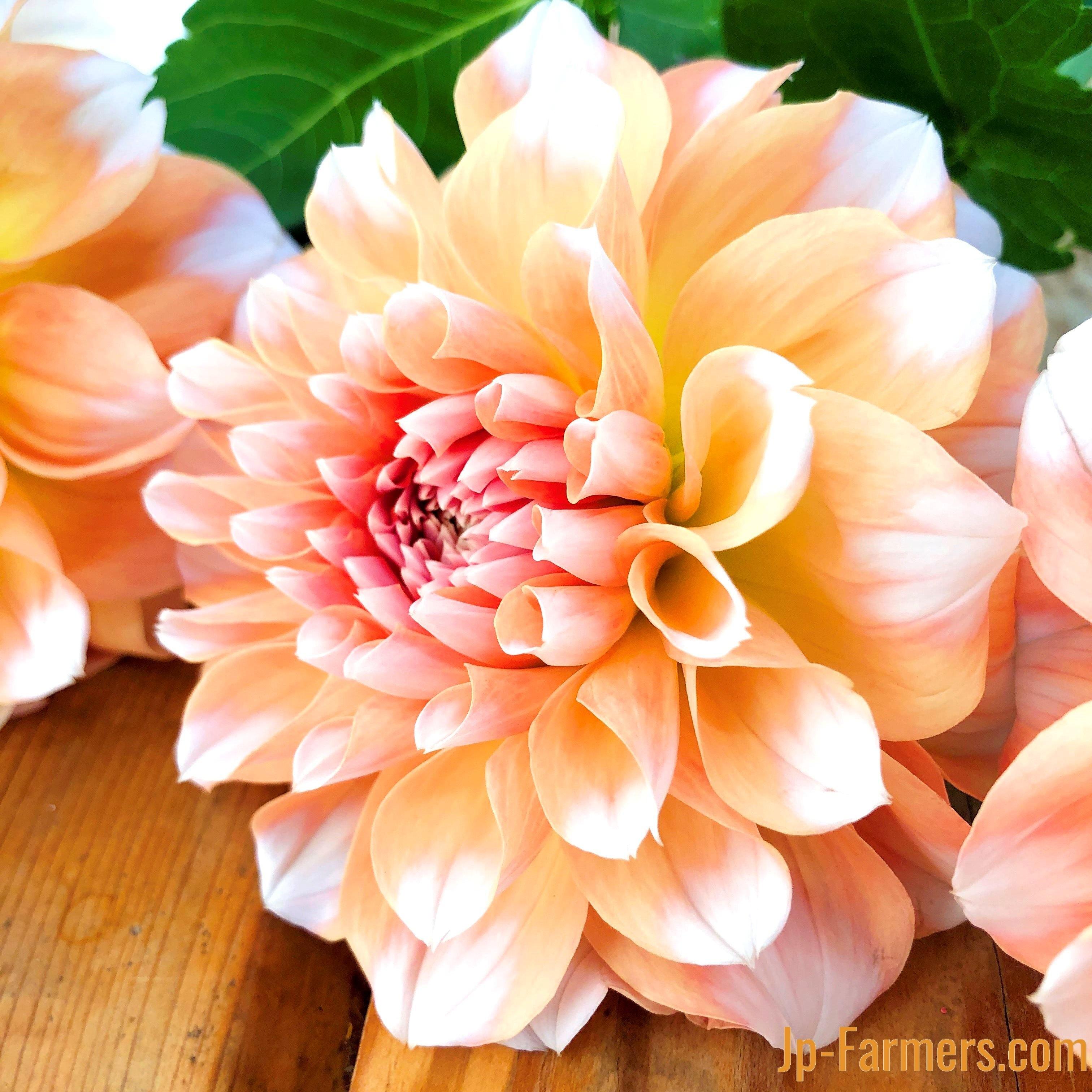 デコラ咲きの可愛いダリア 『ペアビューティー』10本