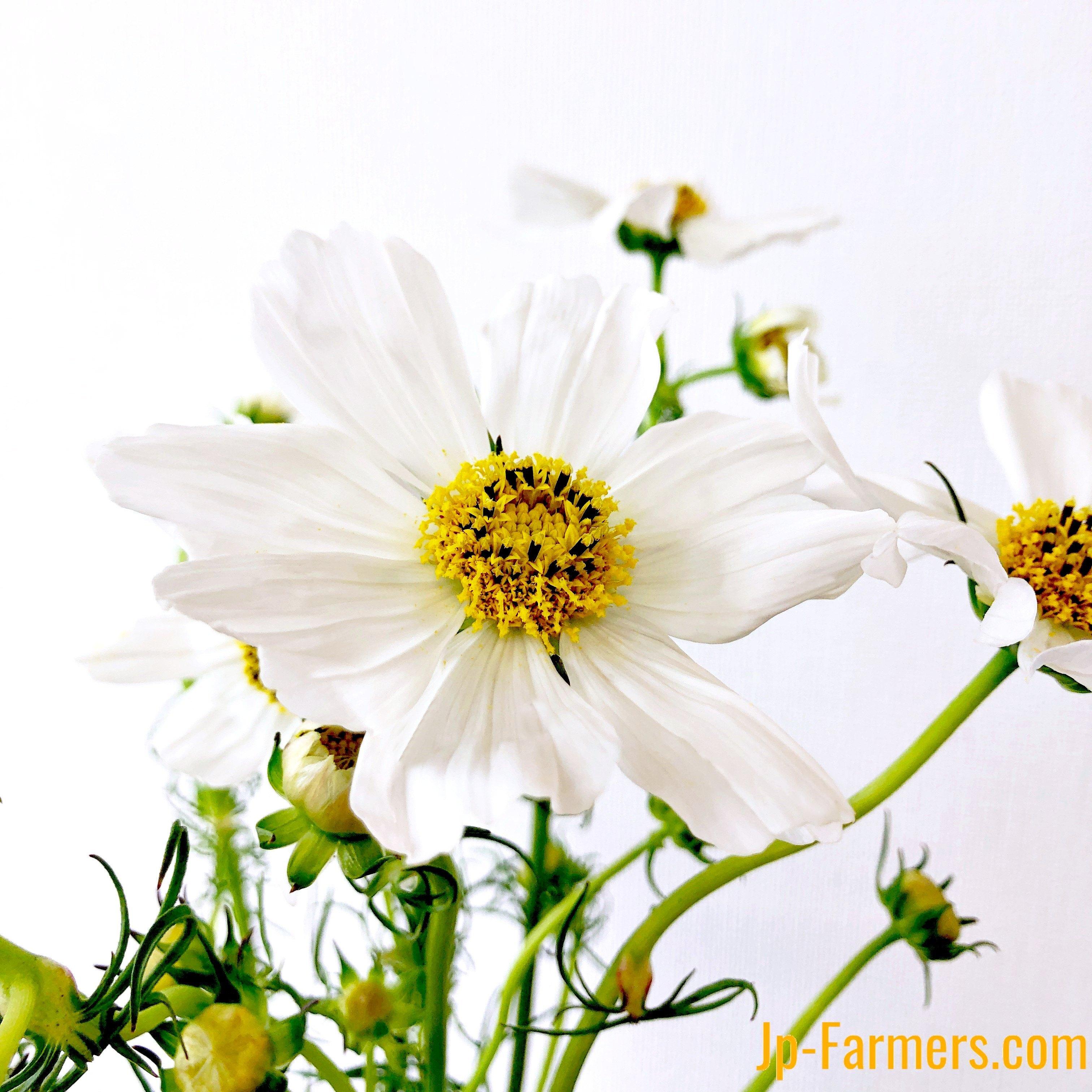 季節限定!秋の花はやっぱり秋桜(コスモス)! アフタヌーンホワイト 20本