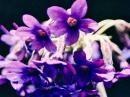 ロックプリムラ[Rock Primula]