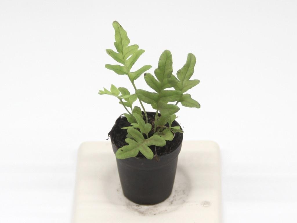 オオエゾデンダ《苔テラリウム・コケリウム観葉植物》