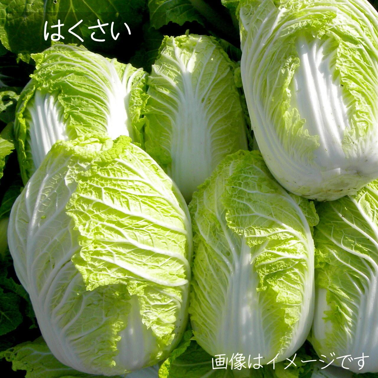 10月の朝採り直売野菜 : 白菜 1個 新鮮な秋野菜 10月17日発送予定